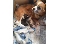 Beautiful chihuahua x Lhasa apso puppies