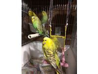Young and Adult Budgies for Sale