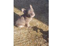 REDUCED! LAST ONE LEFT!! Beautiful Boy French Bulldog! - £1,100