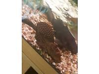 Common pleco fish