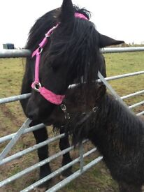 14.1hh Friesian x Welsh d and Shetland Companion Pony