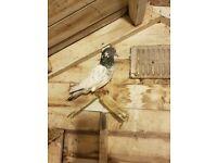 Pigeon for sale pakistani ferozpuri cross