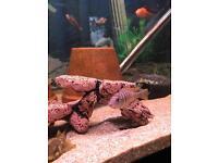 Mixed Malawi Cichlid fish