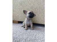 Chihuahua Lilac Fawn boy puppy