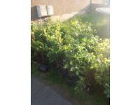 Beech hedge in 2ltr pots