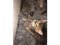 Bengal kittens Tica registered Full pedigree