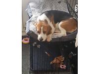 9 months old beagle