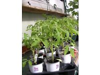 Tumbling Tom Tomato Plants, now ready for planting in tubs, baskets etc.