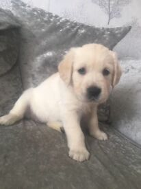 Beautiful Golden retriever puppies for Sale