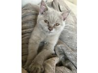Pedigree british shorthair kitten for sale