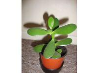 13 cm Tall Money Tree Jade Plant succulent evergreen indoor plant