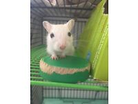 Baby gerbil girls! Gorgeous Light Colourpoint & Pure White pair