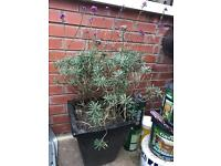 Garden plant with pot