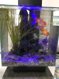 Fish tank + 2 Fancy Glod fish