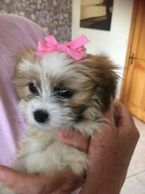 Gorgeous shihpoo female pup, 3 months old.