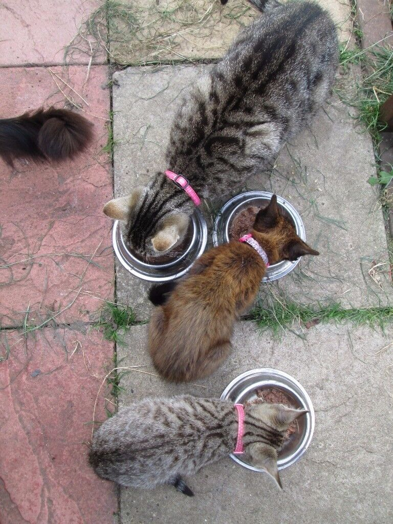 bengal x oriental kittens for sale both girls