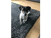 Pup for sale jack Russell 1 year old
