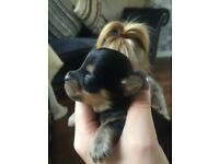 Chorkie puppies for sale. 3 boys and 3 girls. Mum is a pedigree chihuahua and dad a pedigree yorkie