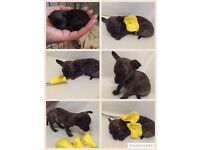 Miniature rare brindle male chihuahua puppy