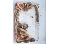 Western hognose snakes for sale