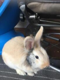 Gorgeous lion haired rabbit, cage and run and food etc