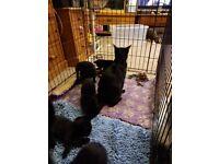 9 week old black kittens for sale