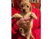 Mini Labradoodle Puppies - Red and Black - all reserved
