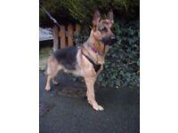 Male German Shepherd Dog / GSD / Alsatian - 20 Months Old