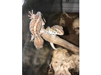 Crestie gecko and pictus gecko pair