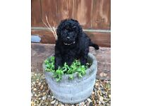 5 Gorgeous F2 Labradoodle puppies ready from 24th July