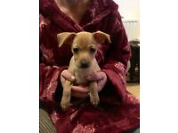 Miniature pinscher puppy 9 weeks old 1 tan girl left £650 with inoculation injections