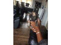 Beautiful Staff puppys for sale