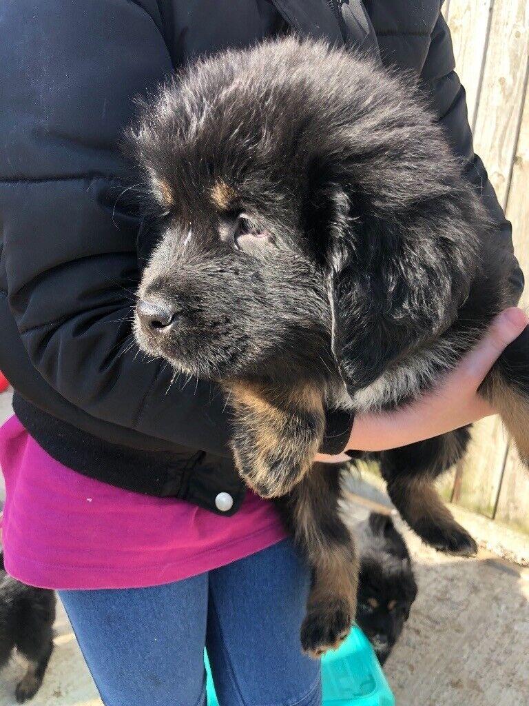 Tibetan Mastiff Puppies for sale | in Rochford, Essex | Gumtree