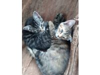 2 X part Maine coon female kittens