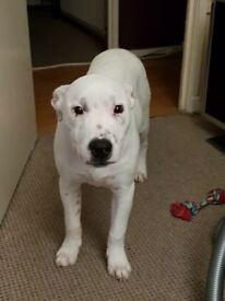 Staffie Lurcher Cross Pup
