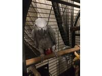 African grey parrot £700ono