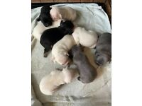 Stunning litter of 9 KC reg French bulldog puppies for sale (7 left)
