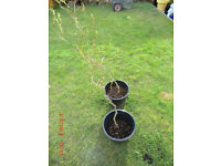 Contorted Willow Saplings