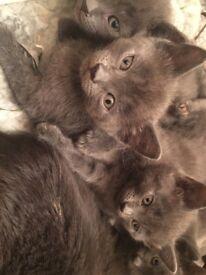 Blue Kittens for sale