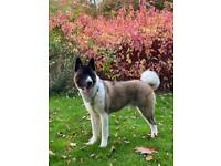 American Akita for sale in Manchester