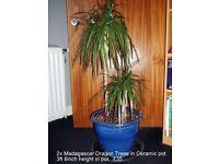 Madagascar Dragon Trees / Dracaena Marginata / 2 x Dragon Trees in Ceramic Po