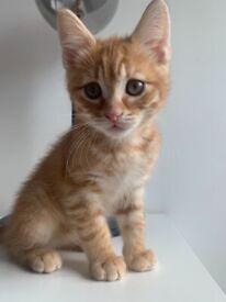 Half Norwegian, half shorthair kitten for sale + accessories