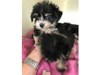 Beautiful tiny Yorkshire Terrier/toy poodle puppies.