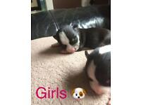 🐶 chihuahua puppies 🐶