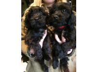 Beautiful bichon frise cross cocker spaniel puppies