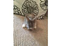 Opal split buck blue eyed baby lionhead rabbit