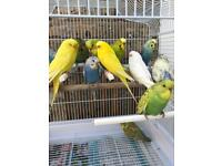 Exhibition Budgies and red eye for sale