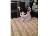 Pure white and black kitten
