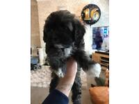 Shih-poo puppies for SALE!!
