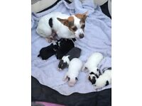 6 beautiful chihuahua cross jack Russel puppies for sale 4girls 2boys